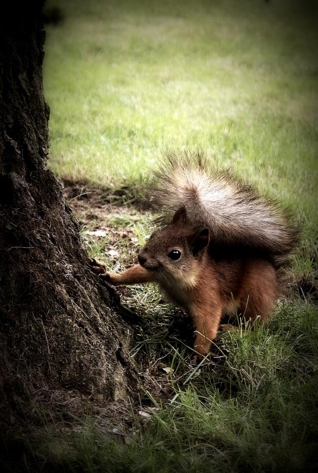 squirrel-524019_1920