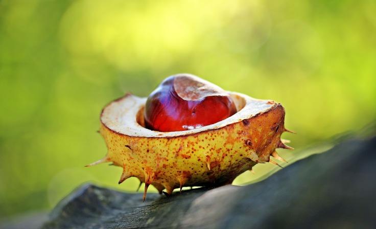 chestnut-1698730_1920